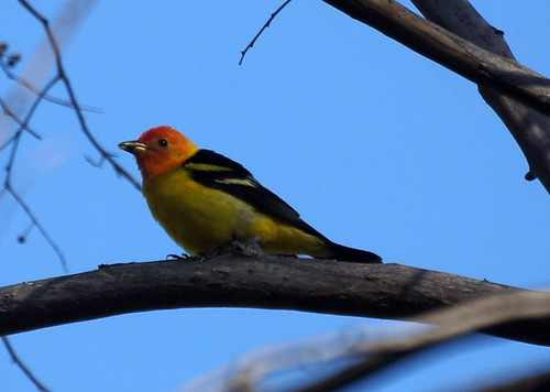 Western Tanager by Mike's Birds