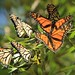 A Cluster Of Monarch Butterflies Port Waikato New Zealand by eriagn
