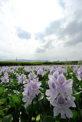 Water hyacinth of former site of Yakushi-ji Temple No.2.