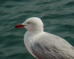 albatross(0.0), great black-backed gull(0.0), european herring gull(0.0), animal(1.0), charadriiformes(1.0), wing(1.0), fauna(1.0), close-up(1.0), gull(1.0), beak(1.0), bird(1.0), seabird(1.0), wildlife(1.0),