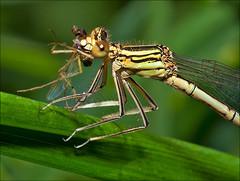 dragonfly & damselflies
