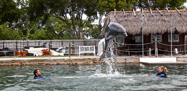 swimming with dolphins - key largo