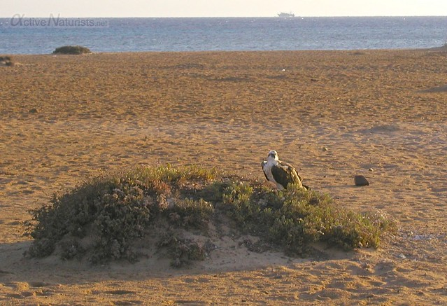 osprey 0000 Rotana Resort, Hurghada, Egypt