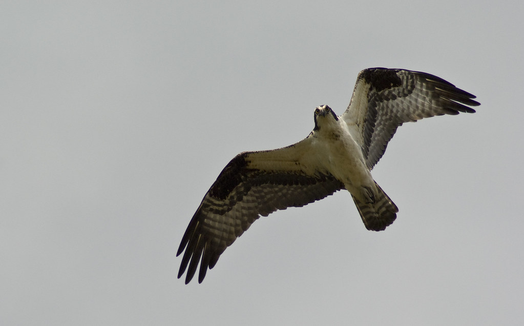 osprey12