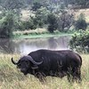 Lone #buffalo #africansafari #world_safari #savana_potente by robtheranger