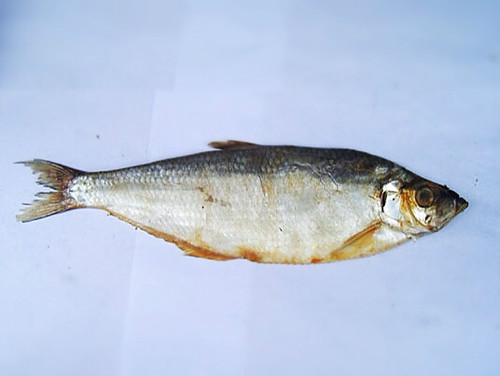 cantonese, chinese, pan fried, salted fish, white herring, 曹白咸魚, salted white herring