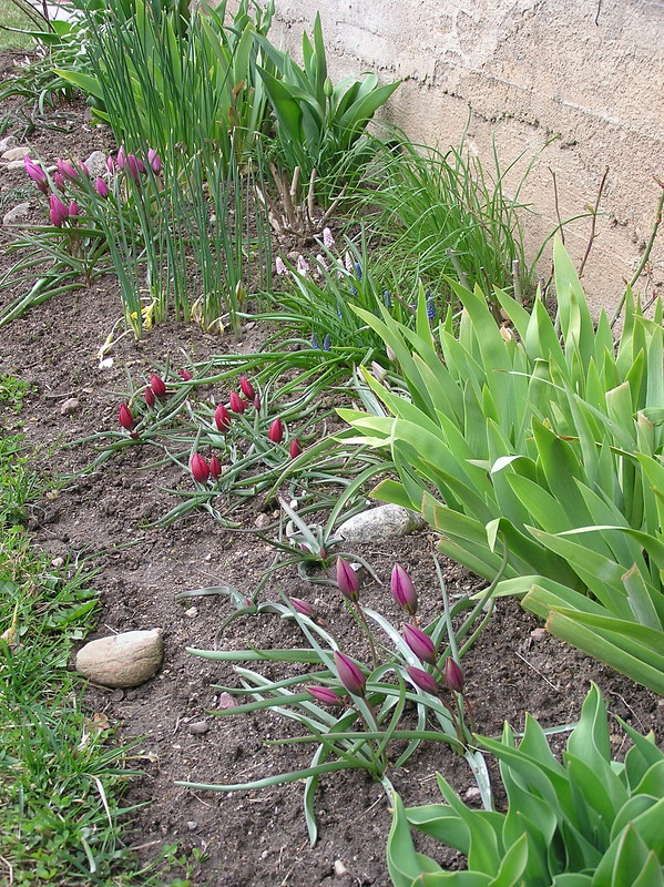 Tulips bed