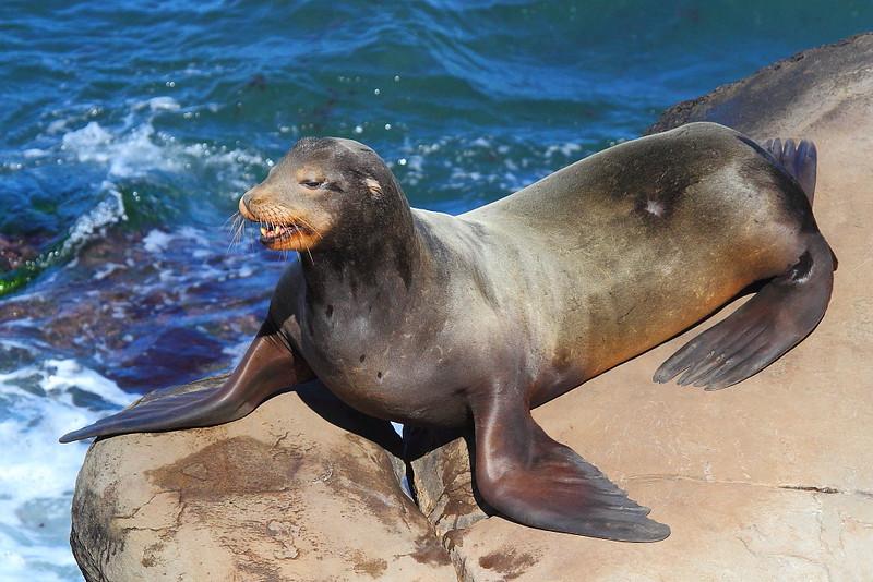 IMG_7516 California Sea Lion