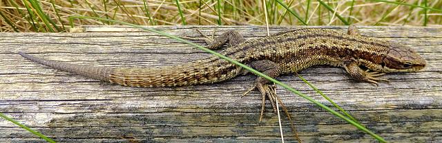 Fuji FinePix F600EXR.Macro Mode.Small Common Lizard (Reptile) On My Garden Fence.May 13th 2014.