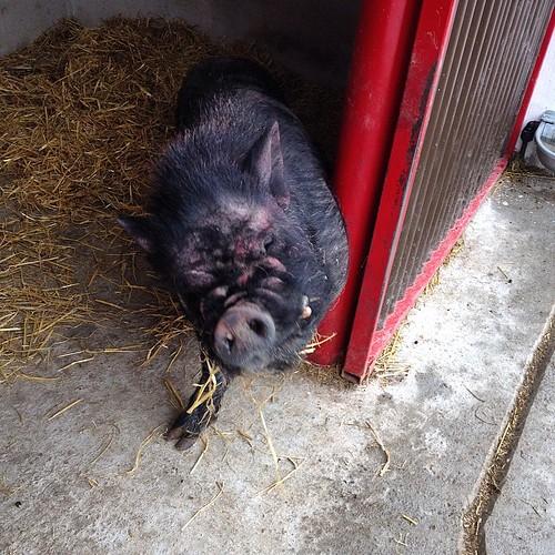 #pigsofinstagram #pig #oink #Glendeer #Athlone #Roscommon #Ireland #trefe