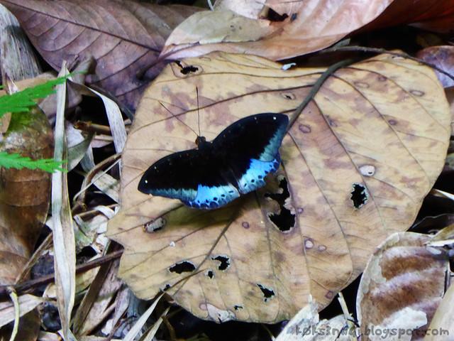 38 Bukit Serumbu Male Lexias pardalis borneensis (Common Archduke)