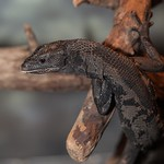 Black Tree Monitor