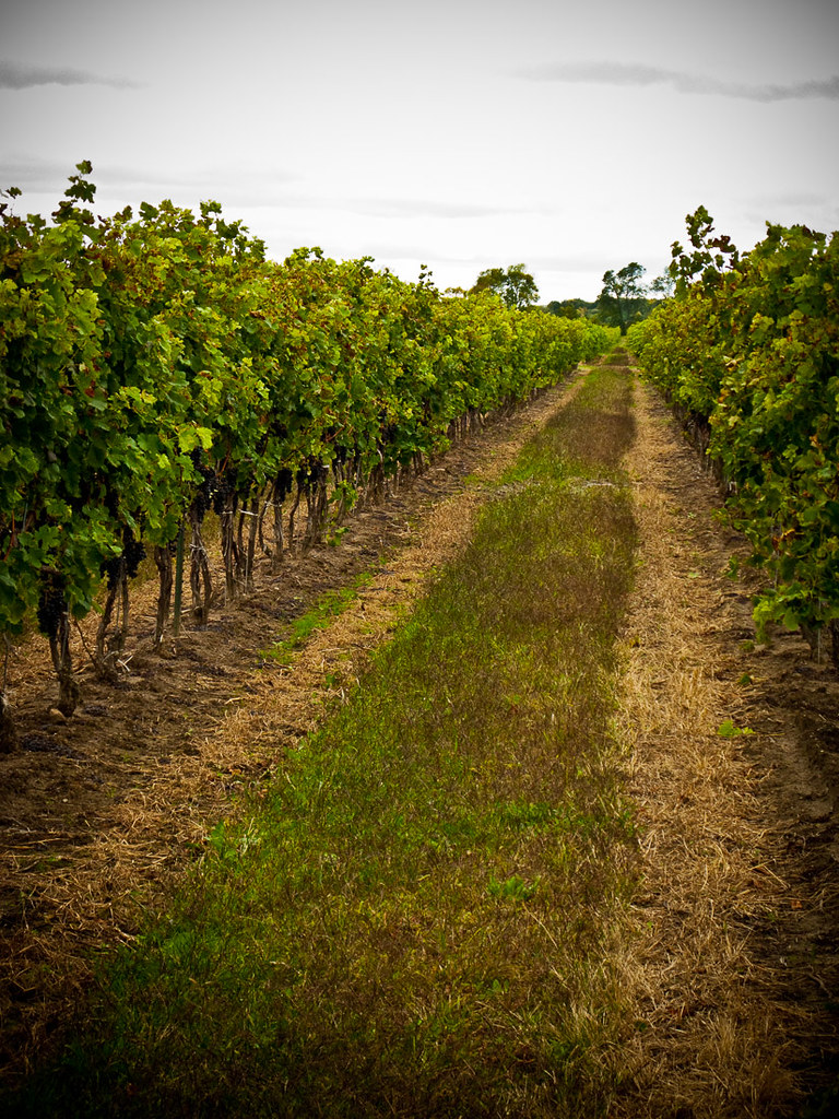 Vineyard at Riverview Cellars | Winery near Niagara Falls