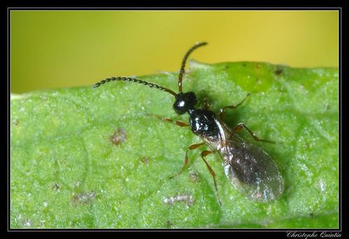Diapriidae femelle
