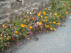 Wild flower verges in Fleurie