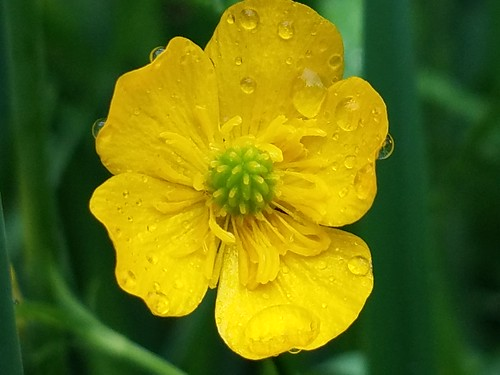 Buttercup after the Rain