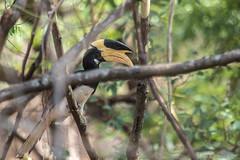 Malabar Pied Hornbill (Male)