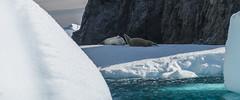 Iceberg with seals