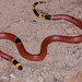 Small photo of Aberrant TX coral snake, Micrurus tener