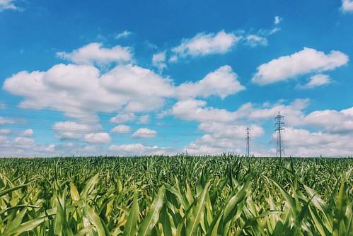 Simpson Clouds #landscape #clouds #cornfield #belgium