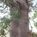 Garden Inventory: Podocarpus - 1
