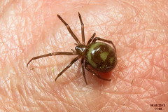 False widow (BG)