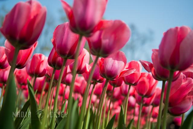Under Pink Tulips