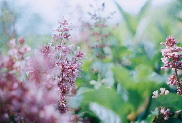 Lilacs in Lilacia Park.
