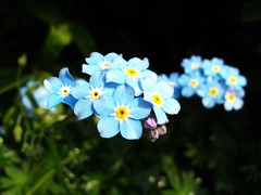 flower, nature, macro photography, wildflower, flora, forget-me-not, petal,