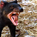 Small photo of Tasmanian devil