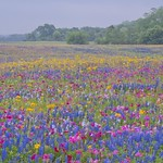 Texas Wildflowers, April 2013