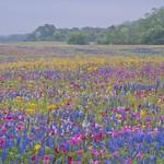 Texas Wildflowers, April 2013