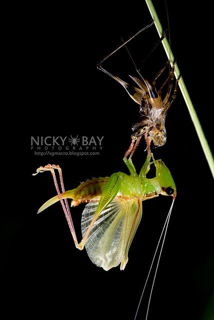 Katydid moulting (Tettigoniidae) - DSC_8059
