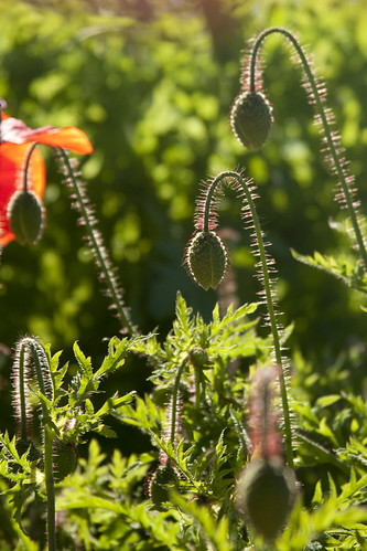 SFBG poppies 4