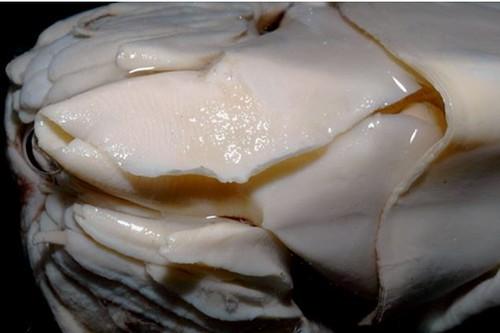 04、鸚鵡螺的漏斗口尚未癒合為管狀,形似日式手捲。圖片作者:李坤瑄。
