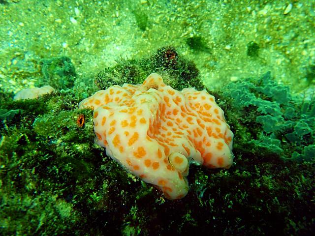 Colonial Tunicates
