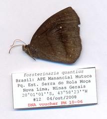 Forsterinaria quantius