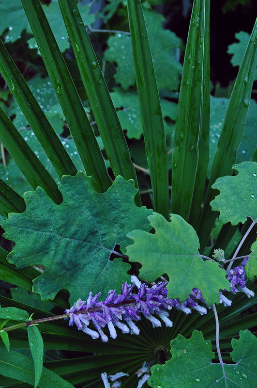 Salvia leucantha (1)