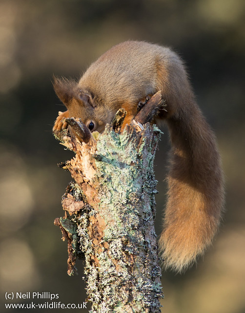 red squirrel-10