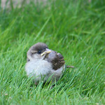 House Sparrow fledgeling