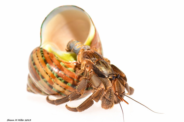 Leaving the shell behind - Hermit crab