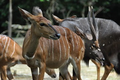 common eland(0.0), animal(1.0), antelope(1.0), mammal(1.0), horn(1.0), fauna(1.0), kudu(1.0), bongo(1.0), wildlife(1.0),