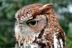 The Southeastern Raptor Center at Auburn University is holding a 'Whoo Loves You' Valentine auction for the opportunity to name a rescued Eastern screech owl. The auction is open through Feb. 13.