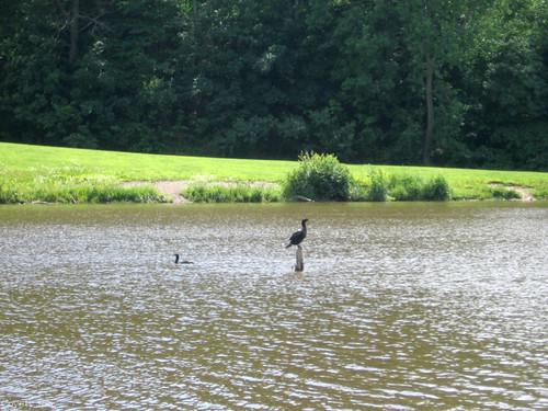 Ducks at Hop Brook Lake by Coyoty