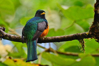 Panama: Orange-bellied Trogon