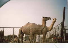 Camels in Kuwait