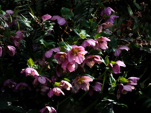 Helebores Afternoon