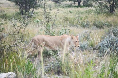 Lioness at dusk, Etosha NP