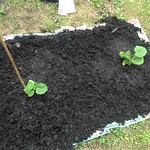 zucchini in maco's backyard beds