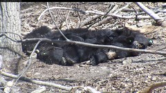 Black Bear Release: April 25, 2014